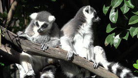Two Ring-tailed lemur sit on a tree branch. The ring-tailed lemur is listed as endangered by the IUCN Red List due to habitat destruction and hunting for bush stock footage