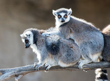Two Ring Tailed Lemurs Stock Image