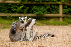 Two ring-tailed lemurs grooming. Each other in the sun Royalty Free Stock Photography