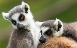 Two ring-tailed lemurs (Lemur catta) Stock Images