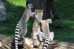 Two ring-tailed lemurs (Lemur catta) on a log Royalty Free Stock Photo