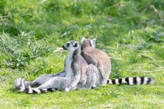 Two ring tailed Lemurs sit on the grass whilst one grooms the other, keeping a look out for possible danger royalty free stock image
