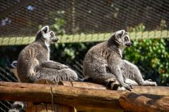 Two ring-tailed lemurs sitting in the sun stock images