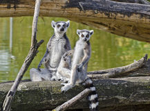 Two ring-tailed lemurs Stock Images
