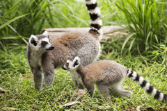 Two ring-tailed lemurs Royalty Free Stock Image