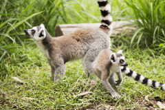 Two ring-tailed lemurs Royalty Free Stock Images