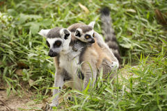Two ring-tailed lemurs Royalty Free Stock Photography