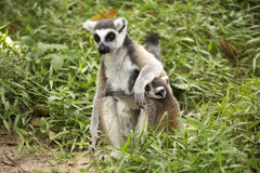 Two ring-tailed lemurs Royalty Free Stock Photos