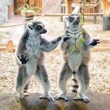 Two ring tailed lemurs on stone plate stock image