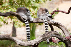 Two Ring-tailed Lemurs taking a nap Stock Photos