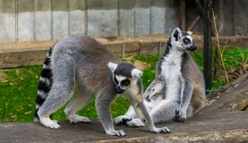 Two ring tailed lemurs together, one walking and one sitting, endangered monkey specie from madagascar royalty free stock images