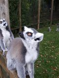 Two Lemurs. Two Ring Tailed Lemurs Royalty Free Stock Photo