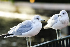 Two ringed-billed seagulls Stock Image