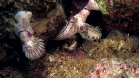 Two Ringed chromodoris nudibranch with Margin glossodoris  Glossodoris cincta in Red sea. stock video footage