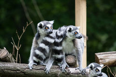 Two ringtailed lermus sitting. Two ringtailed lemurs sitting and looking to the side Stock Photography