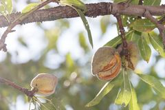Two ripe almonds on tree branch royalty free stock photos