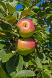 Two ripe apples on a branch in a garden Stock Photos