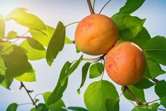 Two ripe apricots on a branch with leaves on a sunny day stock image