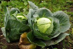 Two ripe cabbages Stock Photography