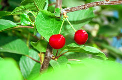 Two ripe cherries Royalty Free Stock Photography