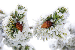 Two ripe cone on the  pine. Two ripe cone on the evergreen pine Stock Photo