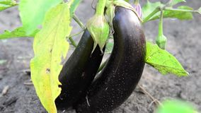 Two ripe eggplant on bed. Two ripe eggplant on a bed stock footage