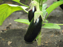 Two ripe eggplants on a garden bad. Royalty Free Stock Images
