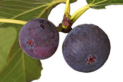 Two ripe figs on a tree Stock Photography