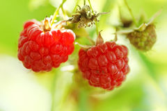 Two ripe fruit of red raspberry close up Stock Photos