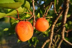 Two ripe orange juicy apricots on the tree in an orchard Royalty Free Stock Photo