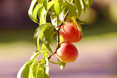 Two ripe peaches hanging from tree. Peaches are ready to pick Royalty Free Stock Images