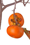 Two ripe persimmons isolated against white Stock Photo