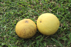 Two ripe pomelo. Es on the grassland Stock Photography