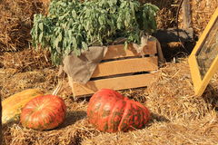 Two ripe pumpkins Stock Photography