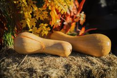 Two ripe pumpkins, zucchini, squash lit by autumn sun, on dry straw. Symbol of holidays, especially on Thanksgiving Day Stock Image
