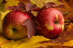Two ripe red apples on a background of autumn maple and viburnum leaves Royalty Free Stock Images