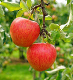 Two ripe red apples on a tree Stock Image