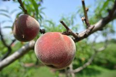 Two ripe red peaches on the tree in an orchard on a sunny day Stock Photography