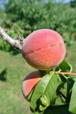 Two ripe red peaches on the tree in an orchard on a sunny day Royalty Free Stock Photos