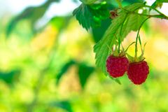 Two ripe red raspberry berries on a yellow-green background Stock Photo