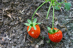 Two ripe red Strawberries Royalty Free Stock Photos