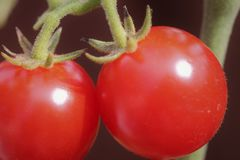 Two ripe red tomatoes on the vine Stock Images
