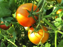 Two ripe tomatoes on branch. Growing vegetables. Agriculture Royalty Free Stock Image