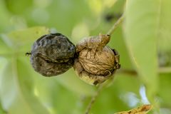 Two ripe walnuts on the tree just before falling down. In front of green blurred background stock image