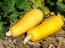 Two ripen marrows Stock Images