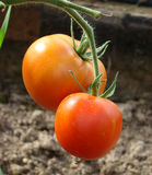 Two ripening fruit of tomato. On a branch in a hotbed Stock Photos