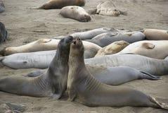 Two rivalling male Elephant Seals near San Simeon, California Royalty Free Stock Image