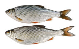 Two river fish, roach over white Royalty Free Stock Photography