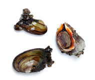 Two river mussels (Anodonta) and veined rapa whelk Stock Photography