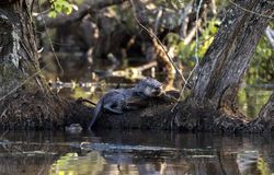 Two River Otter in beaver swamp, Georgia USA stock photos